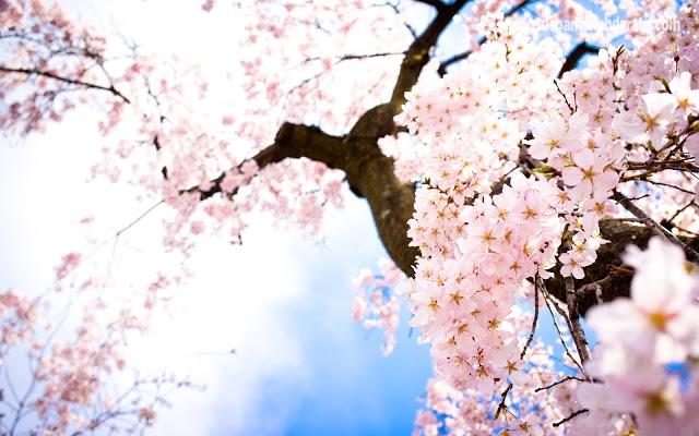 flores-rosadas_arboles-de-cerezo_primavera-18161